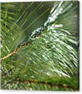 Pine Needles Series 1 Canvas Print