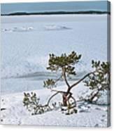 Pine On A Rock Canvas Print