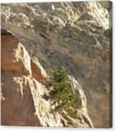 Pine On Limestone Wall Canvas Print