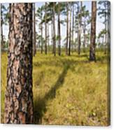 Pine Savanna II Canvas Print