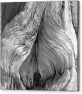 Pine, Split Trunk, Sierra Nevada Mountains, Ca Canvas Print