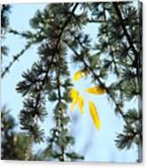 Pine Tree Art Prints Blue Sky Yellow Fall Leaves Canvas Print
