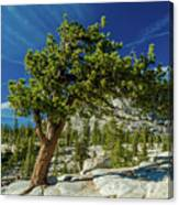 Pine Tree In Yosemite Canvas Print