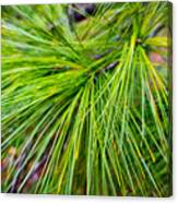 Pine Tree Needles Canvas Print