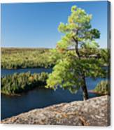 Pine Tree With A View Canvas Print