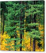 Pine Trees In Autumn Canvas Print