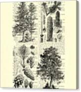 Pine Trees Study Black And White  Canvas Print