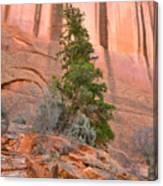 Pine Varnish Canvas Print