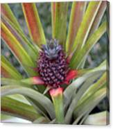 Pineapple, Oahu Canvas Print
