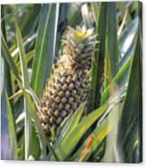 pineapple plantation in Kerala - India Canvas Print