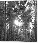 Pines 3 Canvas Print