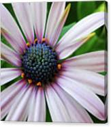 Pink African Daisy Canvas Print