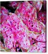 Pink Caladium Canvas Print