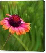 Pink And Orange Wild Daisy Canvas Print