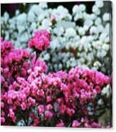 Pink And White Azelas Canvas Print