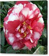 Pink And White Camillia Canvas Print