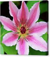 Pink And White Clematis Canvas Print