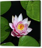 Pink And Yellow Lotus Waterlily Canvas Print