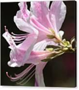 Pink Azalea Macro Canvas Print