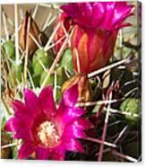 Pink Barrel Cactus Flowers Canvas Print