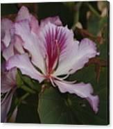 Pink Bauhinia Flower Canvas Print