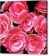 Pink Begonias Canvas Print