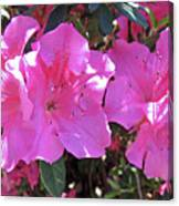 Pink Bevy Of Beauties Canvas Print
