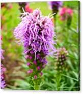 Purple Blazing Star 01 Canvas Print
