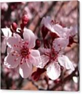 Pink Blossoms 033014c Canvas Print