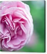 Pink Bourbon Rose Louise Odier Canvas Print
