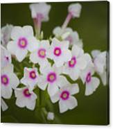 Pink Bright Eyes Garden Phlox Canvas Print