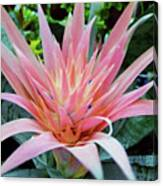 Pink Bromeliad Canvas Print