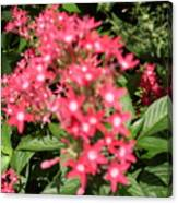 Pink Butterfly Penta Flowers Canvas Print