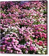 Pink Button Pom Flowers Canvas Print