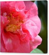 Pink Camelia Closeup Canvas Print