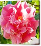 Pink Camellia At Pilgrim Place In Claremont-california  Canvas Print