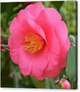 Pink Camellia Flower Canvas Print