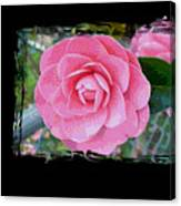 Pink Camellias With Fence And Framing Canvas Print