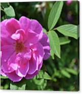 Pink Chestnut Rose Canvas Print