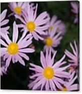 Pink Clara Curtis Daisy Chrysanthemum Canvas Print