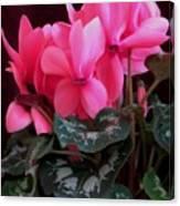 Pink Cyclamen 1 Canvas Print
