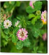 Pink Clover Flowers Canvas Print