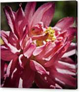 Pink Columbine Canvas Print