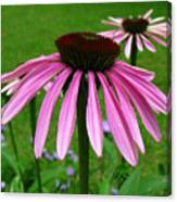 Pink Cone Flowers Canvas Print