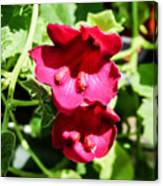 Pink Creeping Gloxinia Canvas Print
