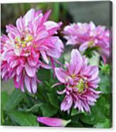 Pink Dahlia Flowers Canvas Print