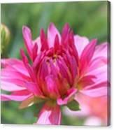 Pink Dahlia Beauty Canvas Print