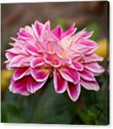 Pink Dahlia Power Canvas Print