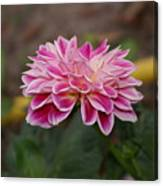 Pink Dahlia Two Canvas Print