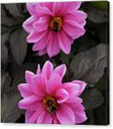 Pink Dahlias With Bees Canvas Print